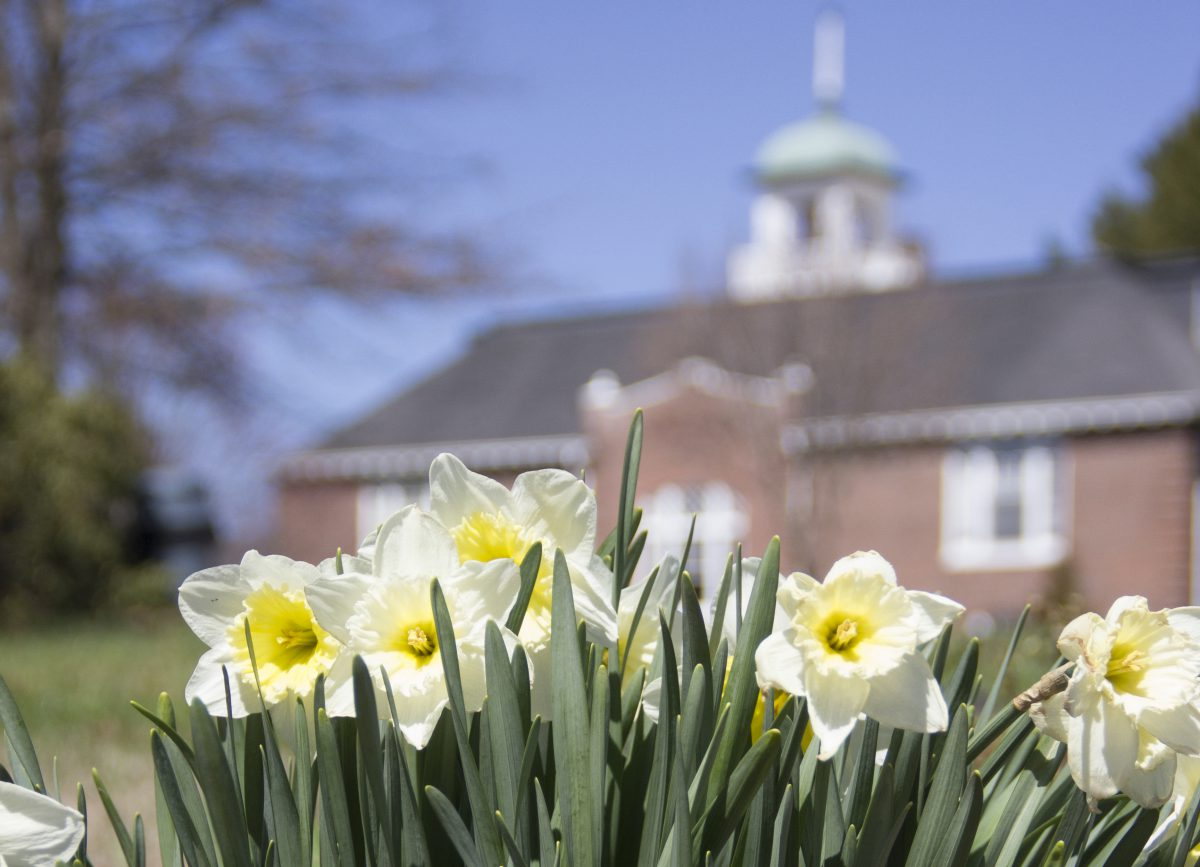 daffodils in front of Marshbanks Hall
